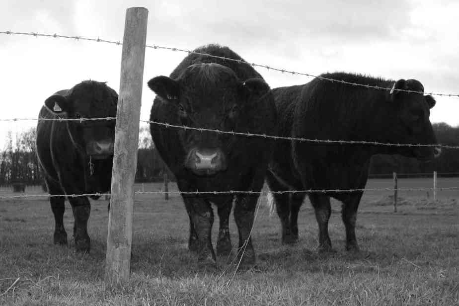 BWCows