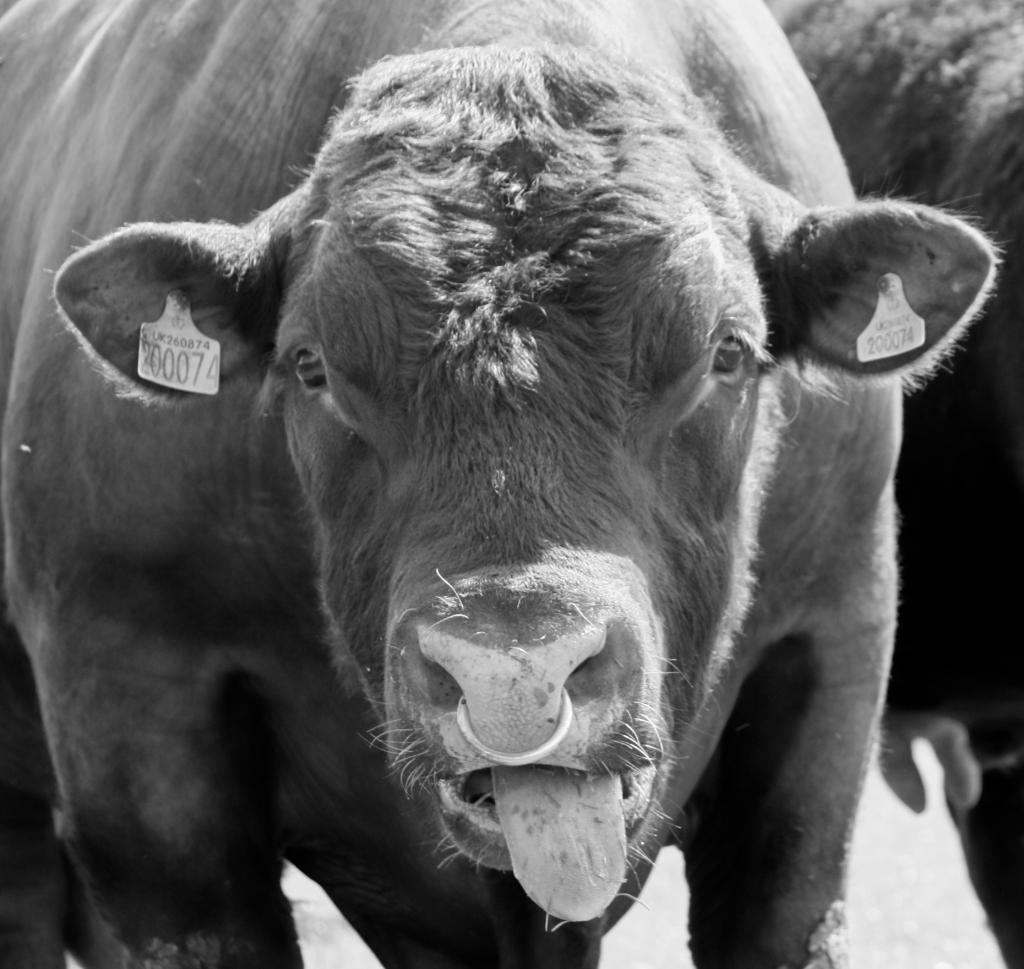 bull 2 bw