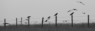 crows on the fence posts