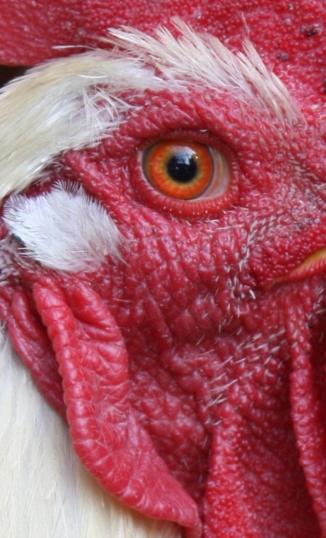 eye of the cockerel