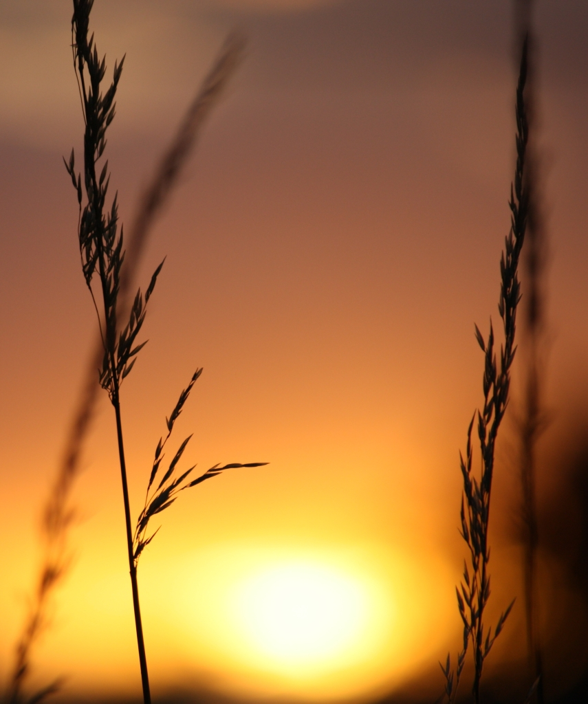 grasses at sundown 3