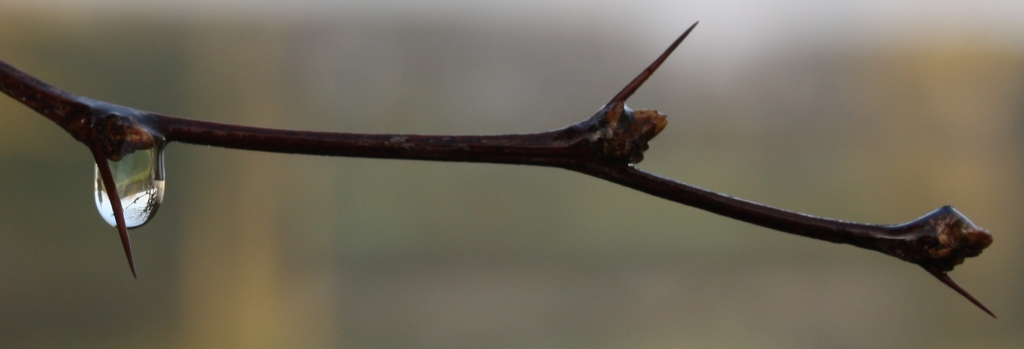 droplet on thorn