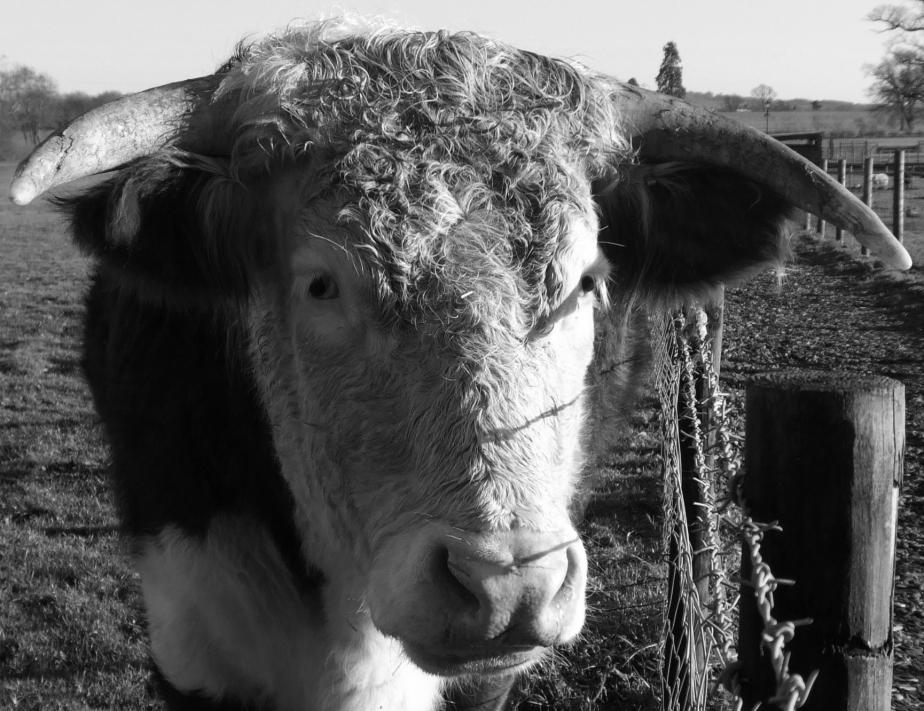 pensive bull bw
