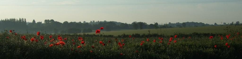 dawn poppies