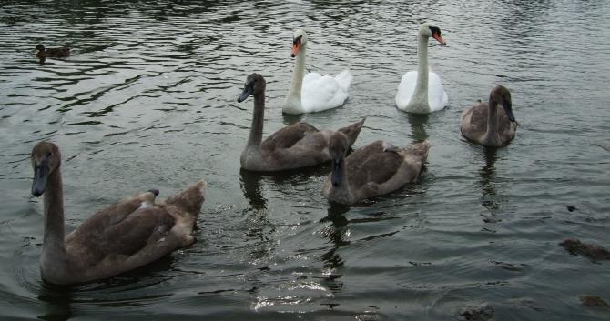 swan flotilla