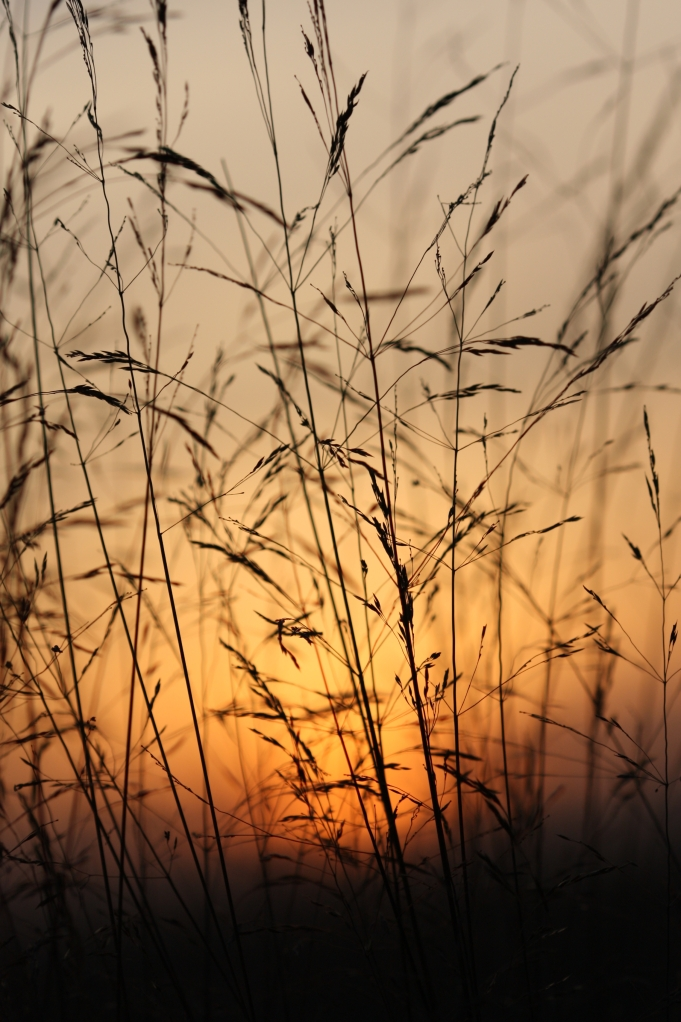 grasses at sundown