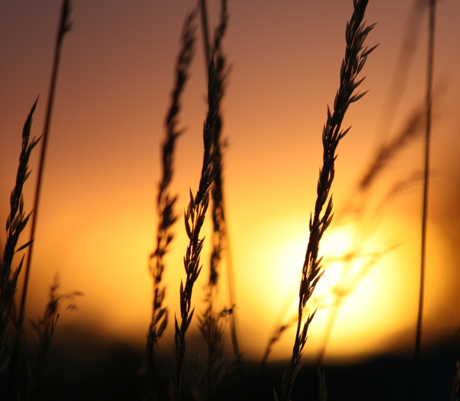 grasses at sundown