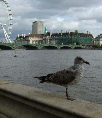 gull on the Thames