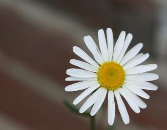 daisy A