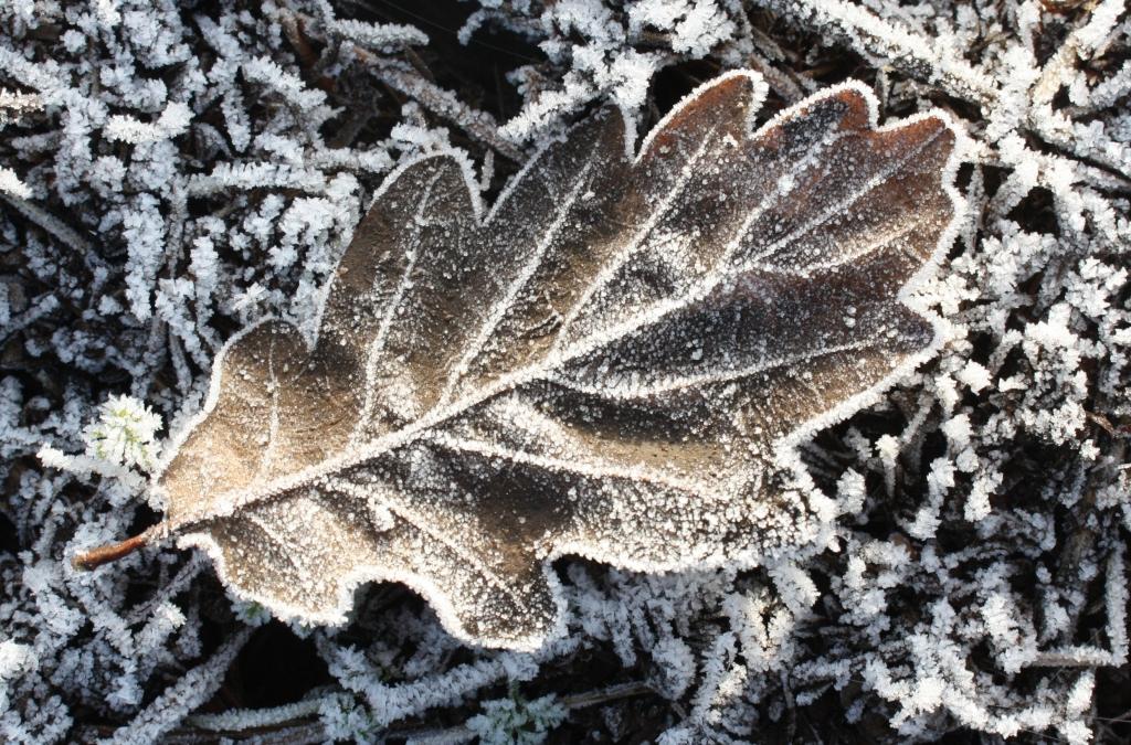 iced-leaf
