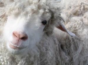 sheepy 1